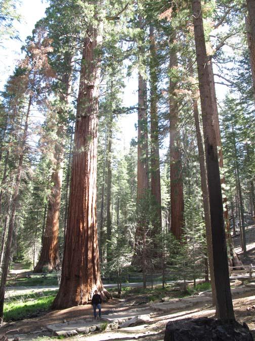 La Nénette est peu de chose devant les séquoias de Yosemite